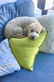Riply Curled Up On Pillows July 2017