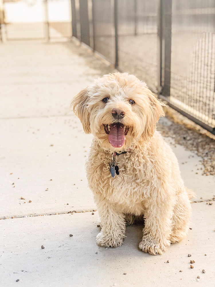 Riply the Lil' Labradoodle
